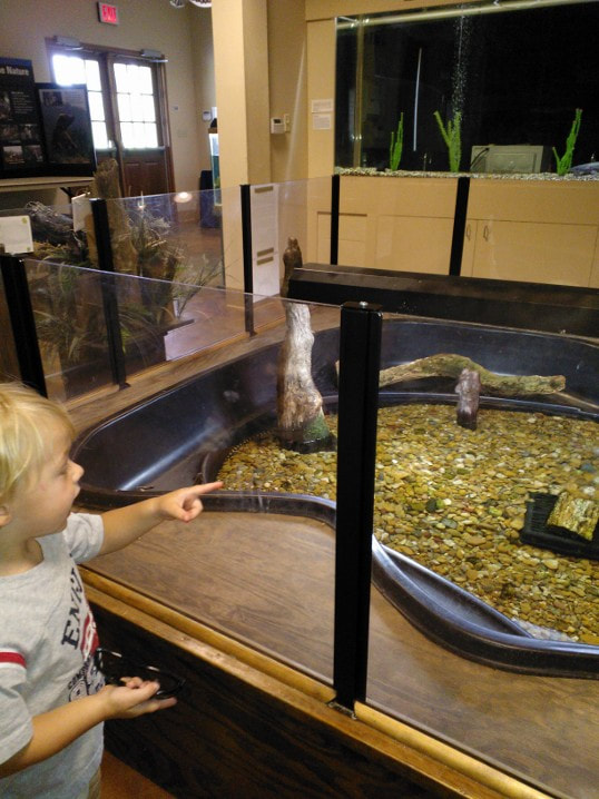 child pointing at the alligators in the habitat inside the Conservation Learning Center at Black Bayou Lake National Wildlife Refuge, Monroe, Louisiana