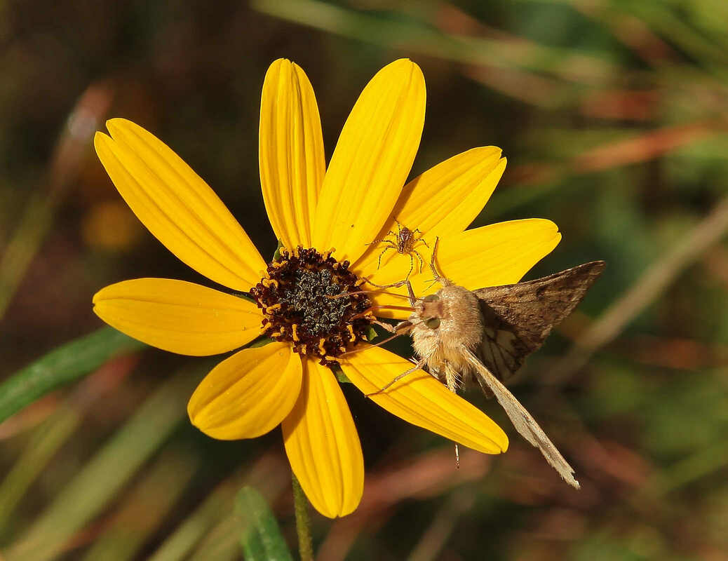 Flower, Moth, Spider at Black Bayou Lake National Wildlife Refuge Photo by Mike Colvin
